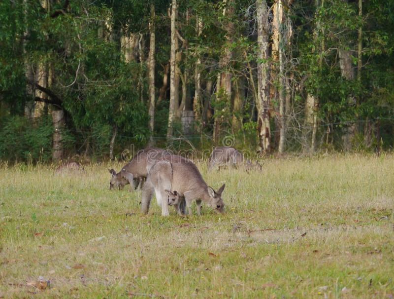 Australische Kangoroos stock fotografie