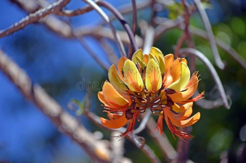 Australische Kiefern-Berg Coral Tree Inflorescence lizenzfreie stockbilder