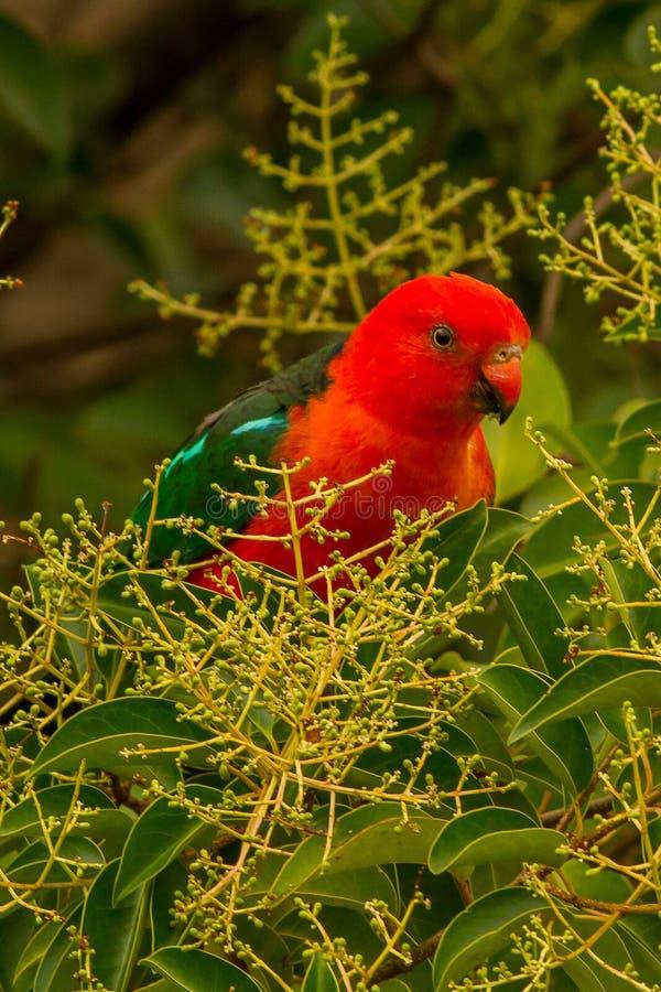 Australische Koning Parrot Alisterus Scapularis Canberra royalty-vrije stock afbeeldingen