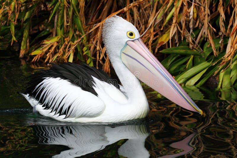 Australische pelikaan royalty-vrije stock afbeeldingen