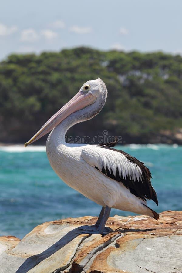 Australische Pelikaan (conspicillatus Pelecanus) stock fotografie