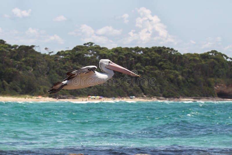 Australische Pelikaan (conspicillatus Pelecanus) stock afbeeldingen