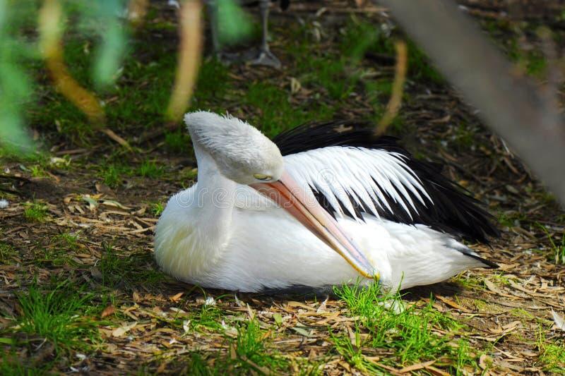 Australische Pelikaan die en in het natuurlijke plaatsen rusten gladstrijken stock foto's