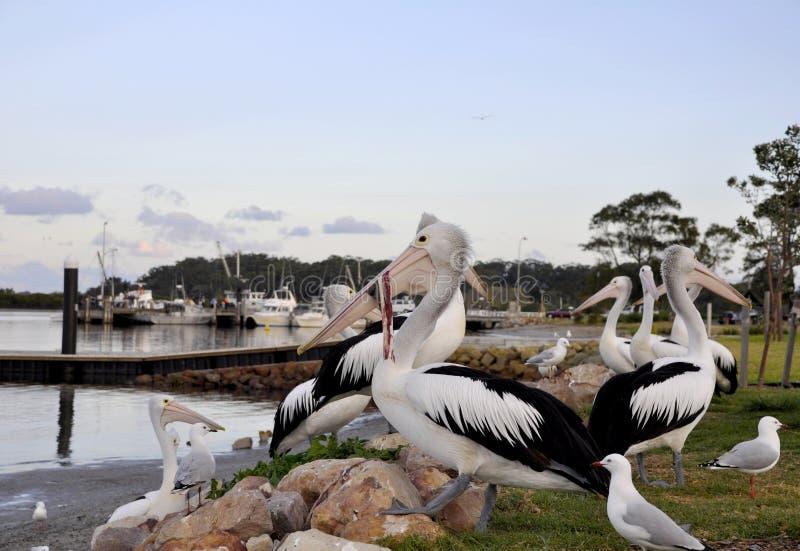 Australische Pelikaan, Greenwell-Punt stock afbeeldingen
