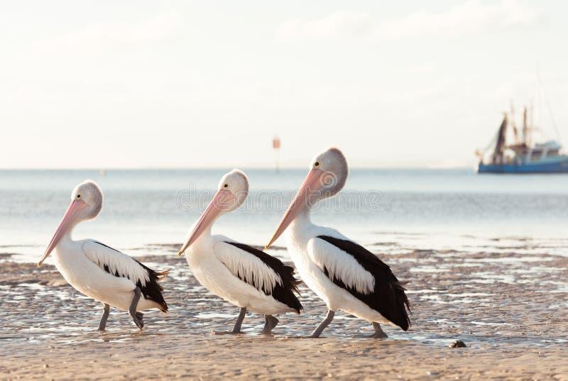 Australische Pelikane auf dem Strand lizenzfreies stockbild