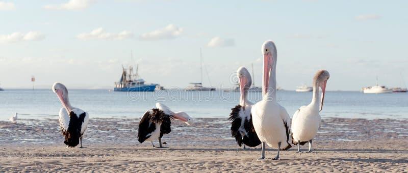Australische Pelikane auf dem Strand lizenzfreie stockfotografie