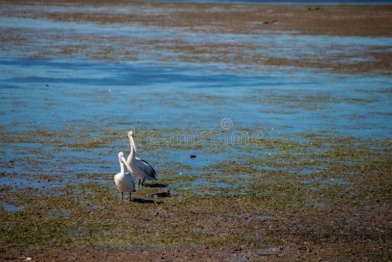 Australische Pelikane, die nach Nahrung am Strand um Brisbane, Australien suchen Australien ist ein Kontinent, der im Südteil O g lizenzfreies stockbild