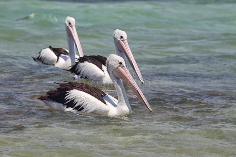Australische Pelikanen (conspicillatus Pelecanus) royalty-vrije stock foto's