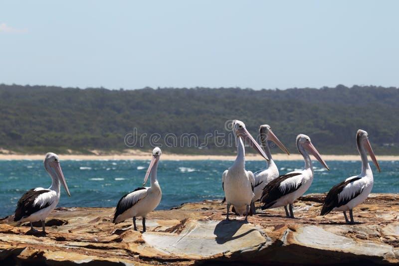 Australische Pelikanen (conspicillatus Pelecanus) royalty-vrije stock afbeeldingen