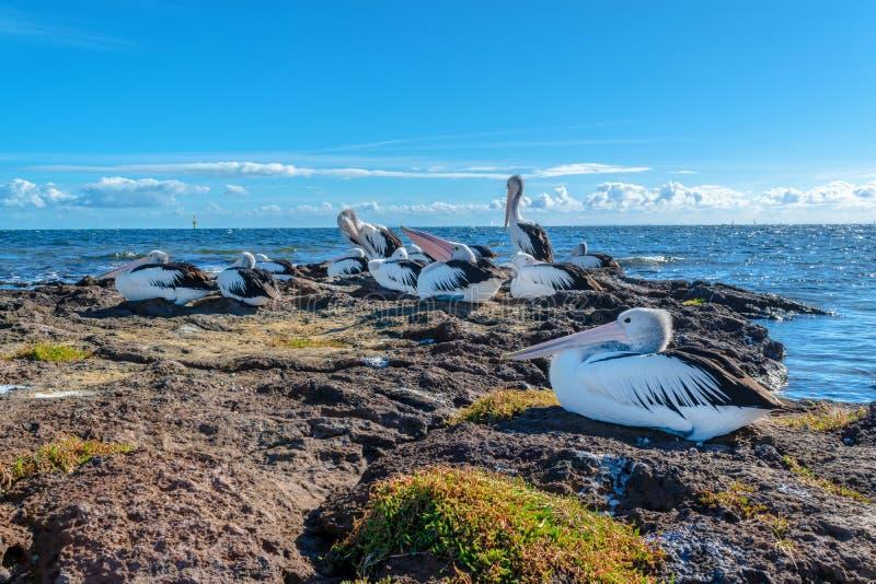 Australische Pelikanen op de rotsen in Beaumaris royalty-vrije stock afbeeldingen