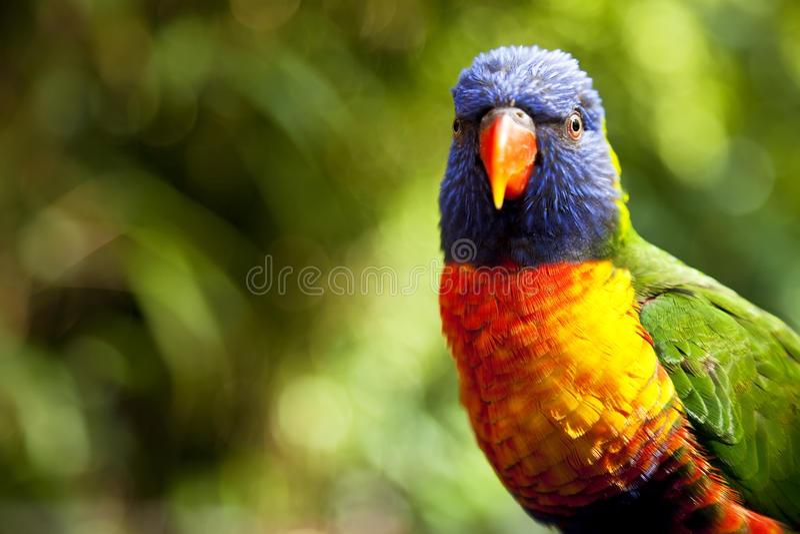 Australische Regenboog Lorikeet Stock Foto
