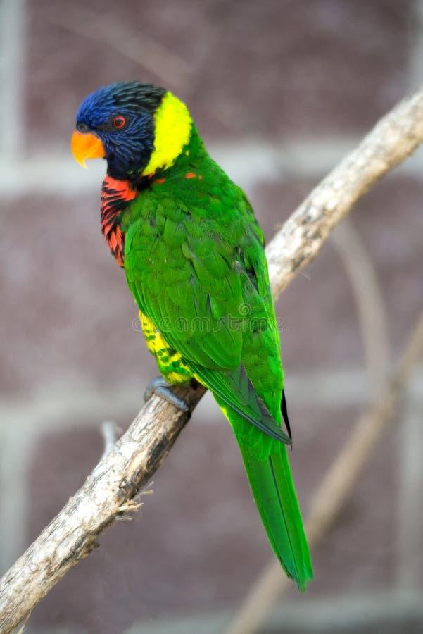 Australische Regenboog Lorikeet royalty-vrije stock afbeeldingen