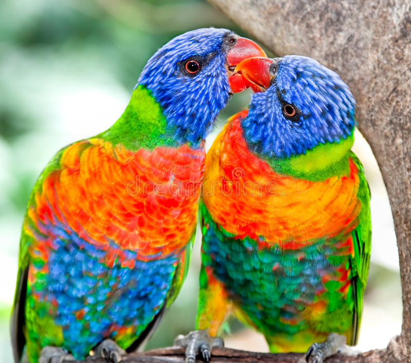 Australische regenboog lorikeets in aard het omringen stock fotografie