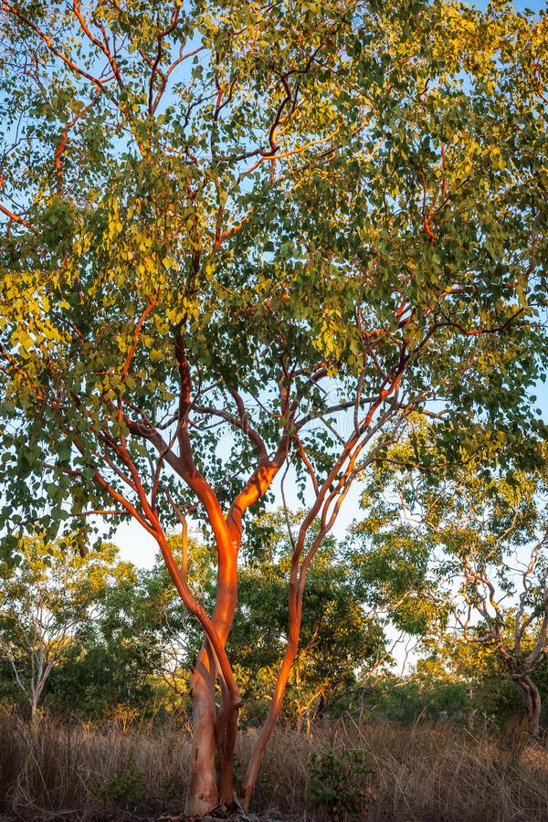 Australische rode gombomen op Noordelijk Grondgebied stock fotografie