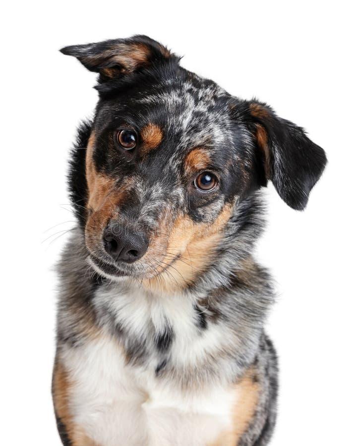 Australische Schäfer-Dog Tilting Head-Nahaufnahme lizenzfreies stockbild
