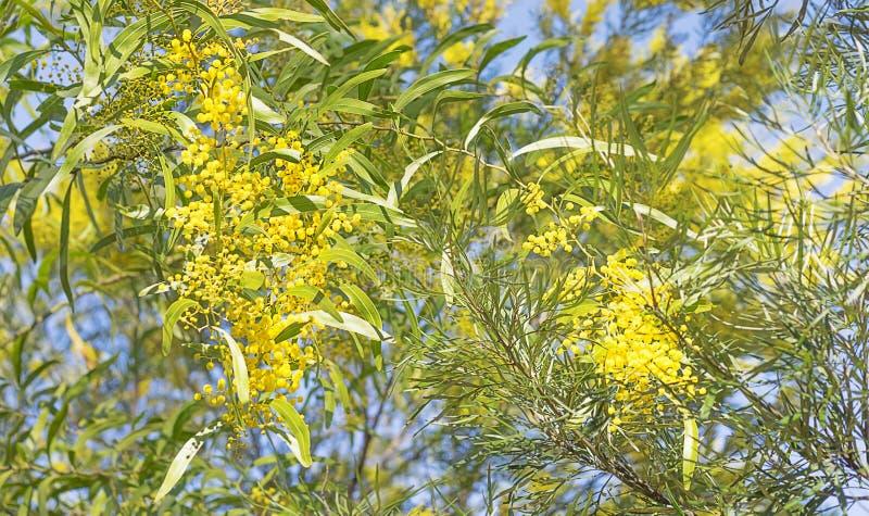 Australische struikscène met acaciabloemen royalty-vrije stock foto