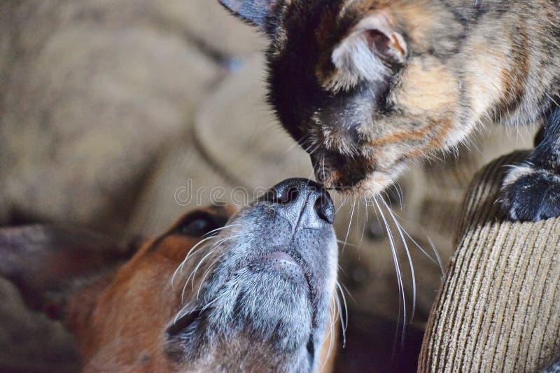 Australische Veehond en Cat Touch Noses royalty-vrije stock foto's