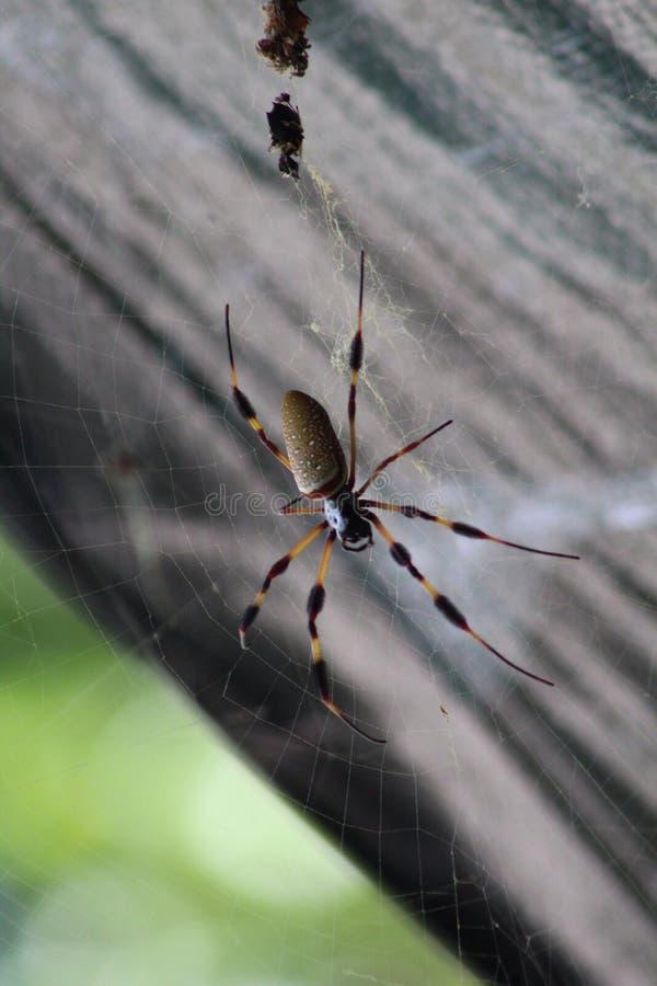 Australische wandernde Spinne stockfotografie