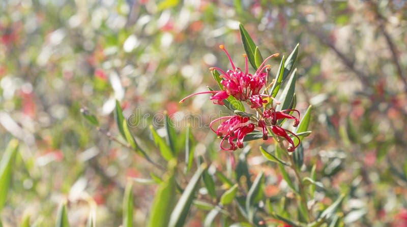 Australische Wildflower Grevillea-Pracht stockfoto