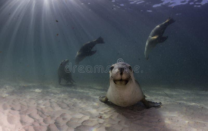 Australische zeeleeuw die op een zandige bodem rusten Het getijde was binnen op die dag royalty-vrije stock foto
