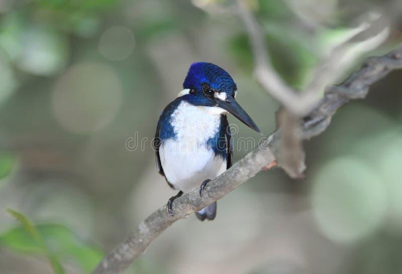 Australischer azule Eisvogel, der vom Baum, cooktown, Australien aufpasst lizenzfreie stockbilder