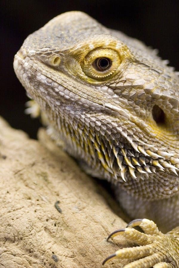 Australischer bärtiger Drache - Pogona vitticeps stockfotografie