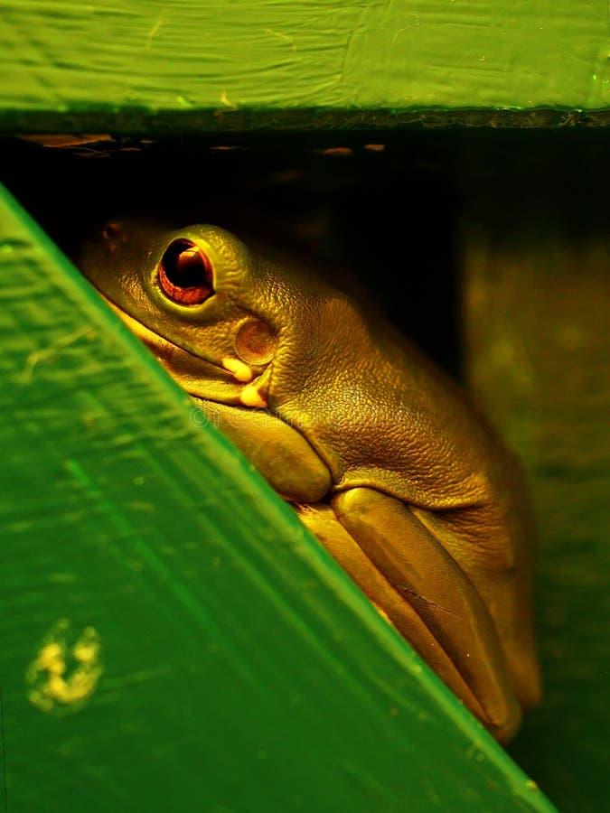 Australischer Baum-Frosch lizenzfreies stockbild