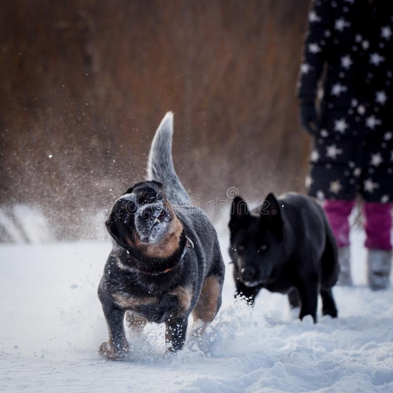 Australischer blauer Vieh-Hund mit osteuropäischem Schäferhund auf dem Winterfeld stockbilder