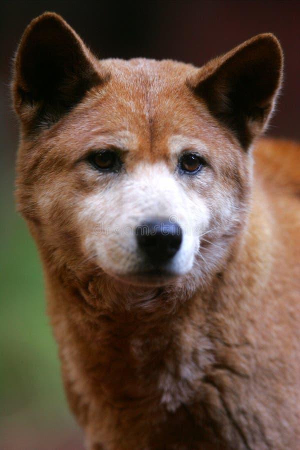 Australischer Dingo stockfoto