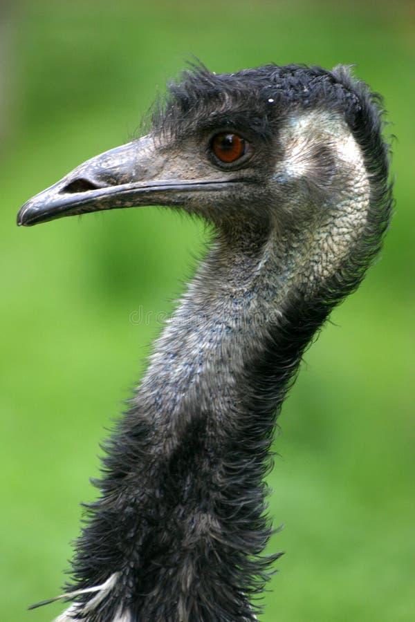 Download Australischer Emu stockfoto. Bild von flug, läufer, federn - 864548