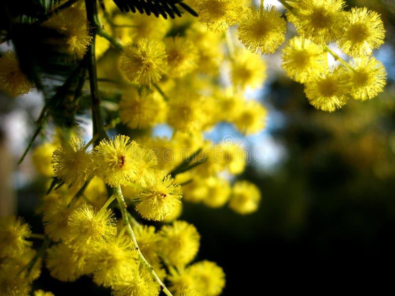 Australischer goldener Zweig stockbild