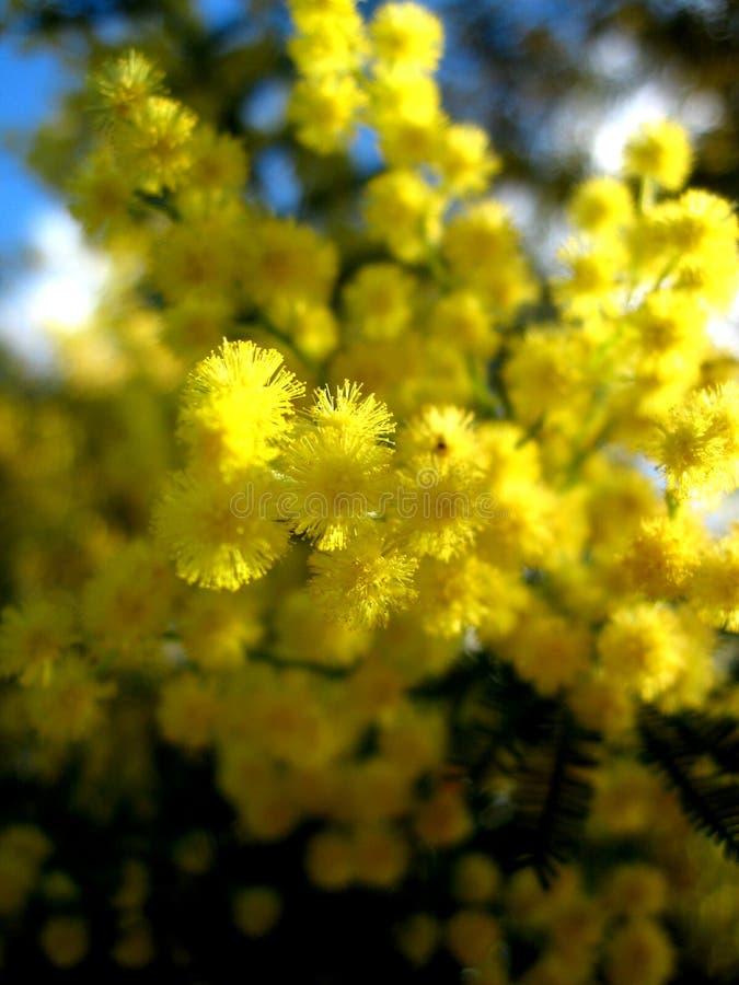 Australischer goldener Zweig lizenzfreie stockfotos