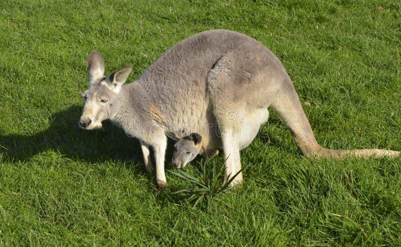 Australischer grauer Känguru mit joey in ihrem Beutel lizenzfreie stockbilder