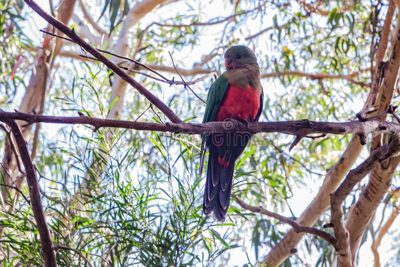Australischer König Parrot, das auf einem Eukalyptusbaum sitzt lizenzfreie stockfotografie