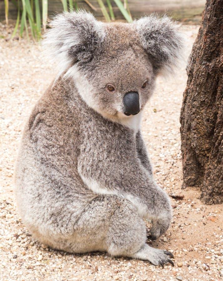 Australischer Koala stockfoto