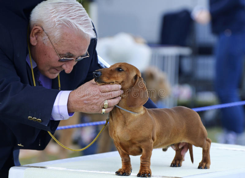 Australischer nationaler Hundehütten-Clubhunderichter, der Dachshundwelpen an Boonah-Show beurteilt stockbilder