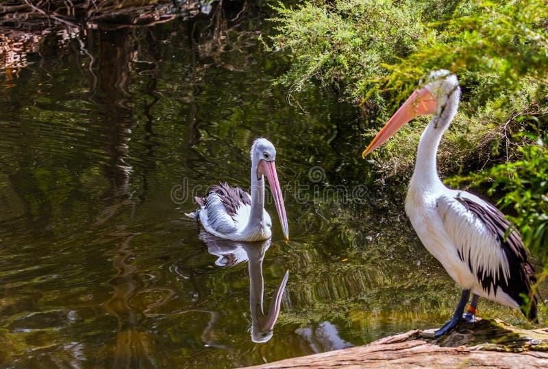 Australischer Park Zwei gro?e Wasserv?gel Pelikane stockfotografie