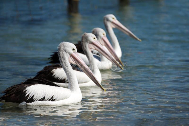 Australischer Pelikan stockfoto