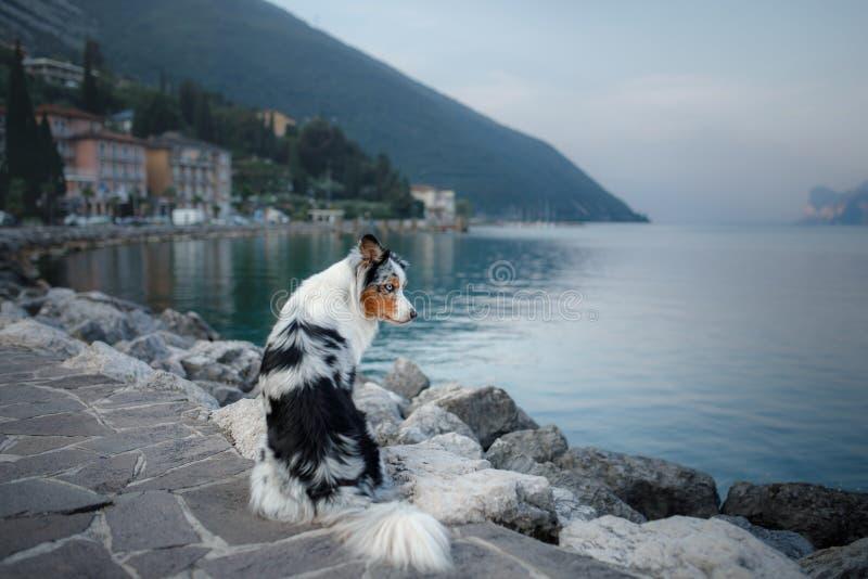 Australischer Schäfer am See in den Bergen Ferien mit Haustier Reisen mit einem Hund nach Italien lizenzfreies stockbild
