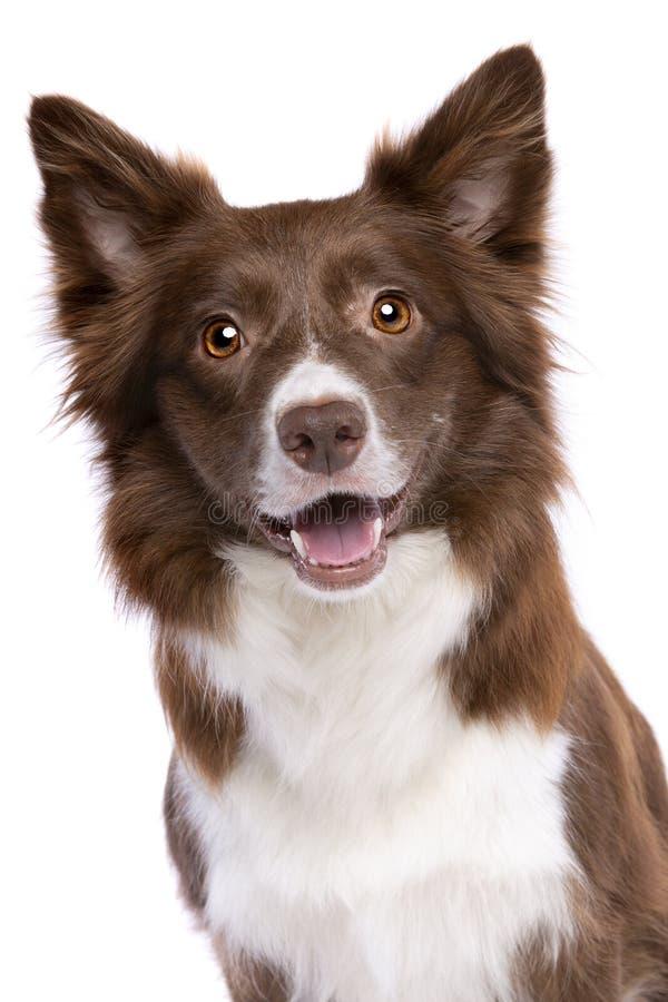 Australischer Schäferhund stockbild