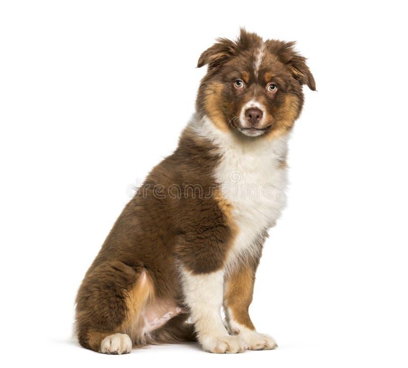 Australischer Schäferhund, der gegen weißen Hintergrund sitzt stockfotografie