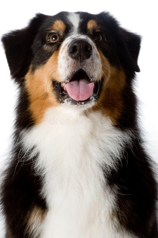 Australischer Schäferhund-Hund lizenzfreie stockbilder