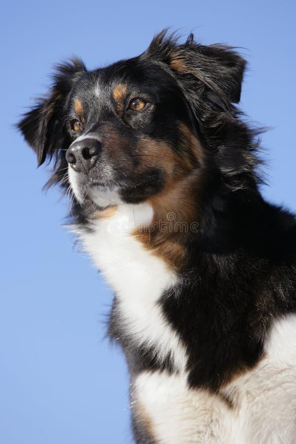 Australischer Schäferhundhund stockbilder