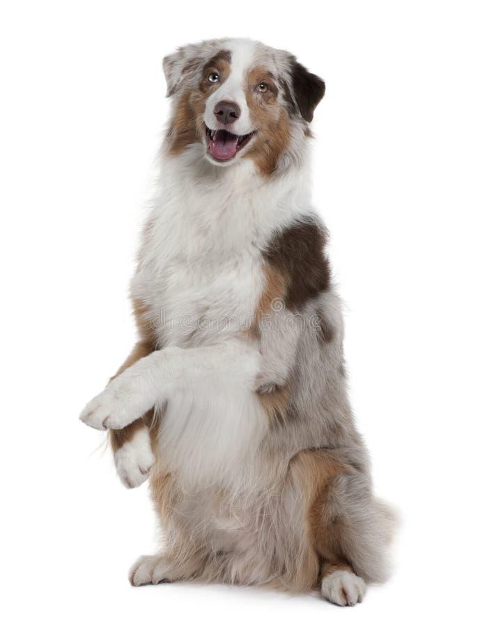 Australischer Schäferhundhund, -sitzen und -c$keuchen lizenzfreie stockbilder