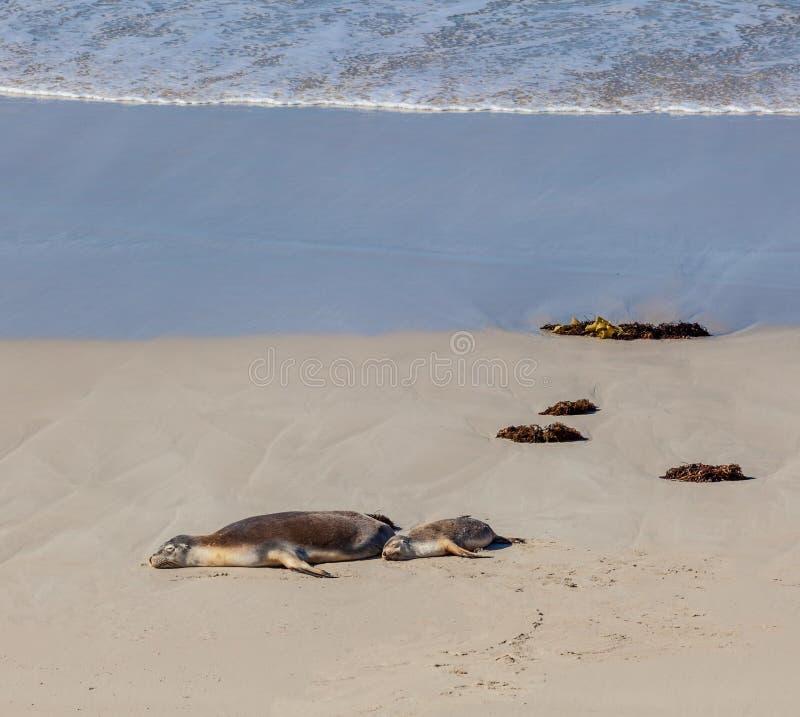 Australischer Seelöwe versiegelt die Mutter und Junges, die auf einem Strand schlafen Ka lizenzfreies stockfoto