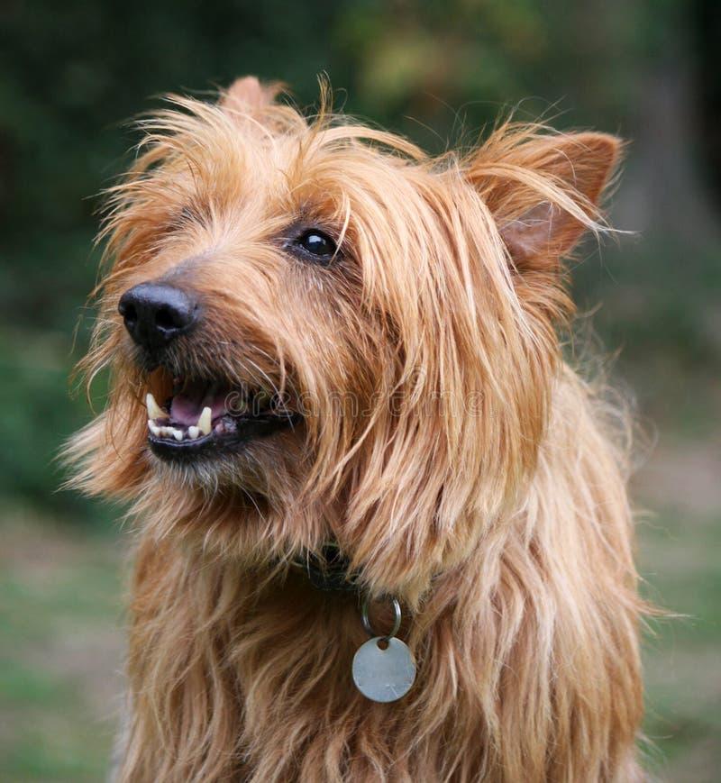Australischer Terrier lizenzfreies stockfoto