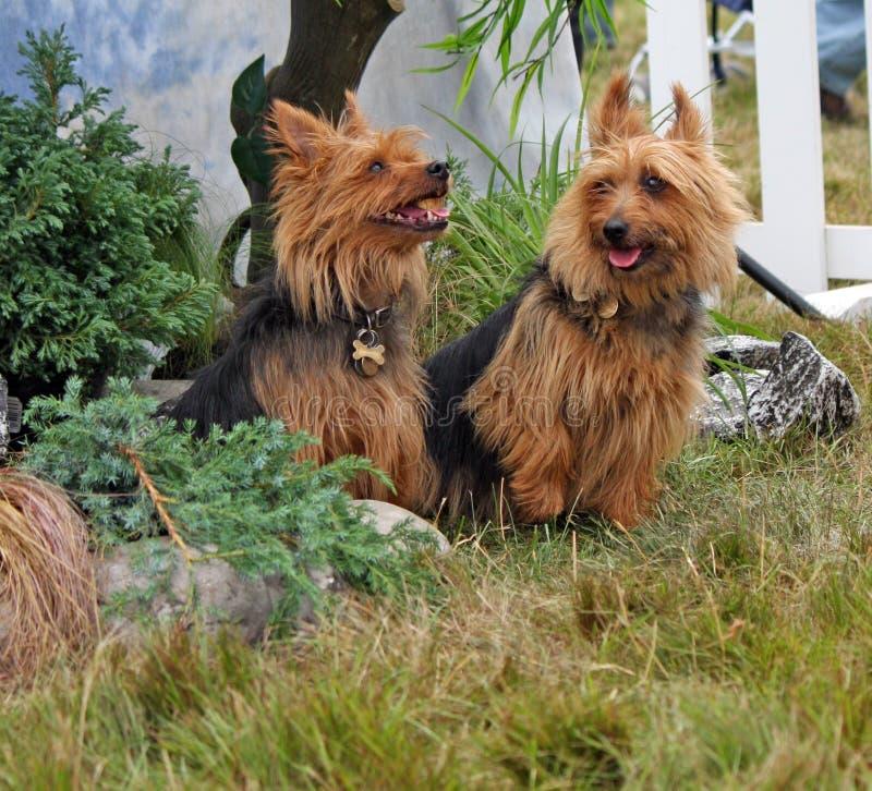 Australischer Terrier lizenzfreies stockbild