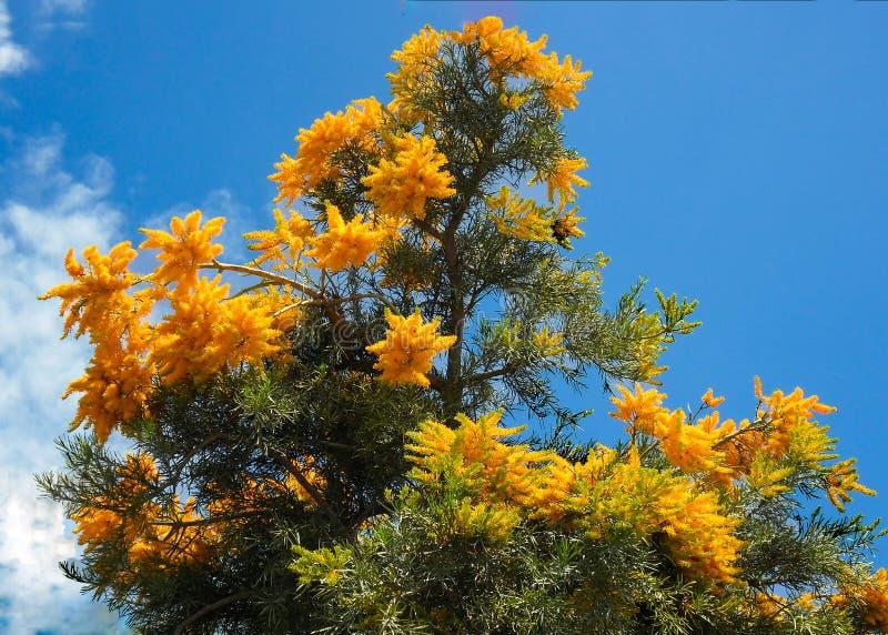 Australischer Weihnachtsbaum stockbilder