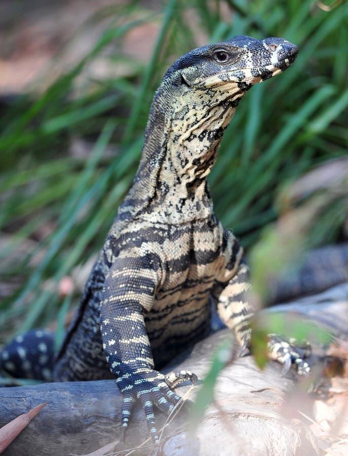 Australisches Überwachungsgerät oder goanna, Queensland, Australien lizenzfreies stockbild