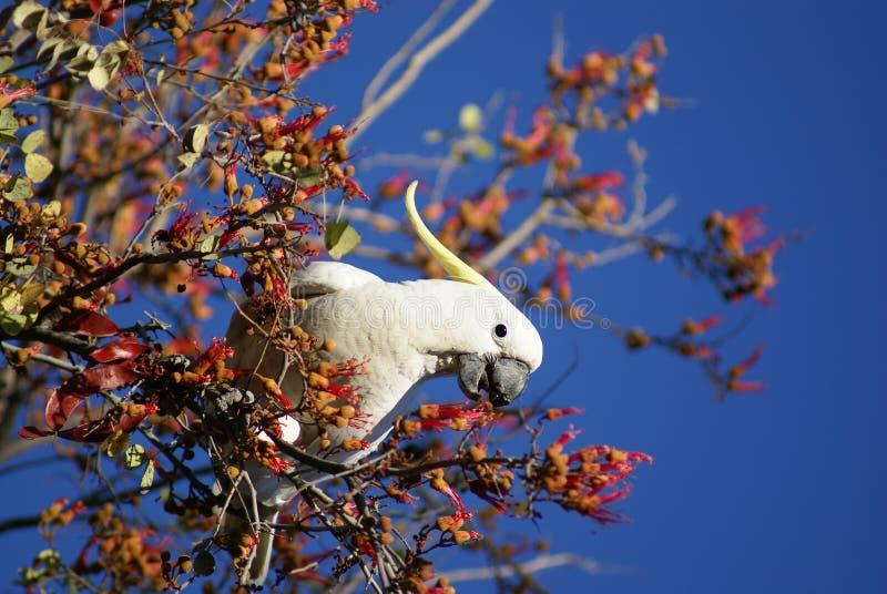 Australisches Cockatooessen lizenzfreie stockbilder